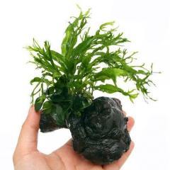 (水草)アヌビアスナナ プチ&ミクロソリウム ウェンディロフ付 流木 SSサイズ(1個)(約10cm)