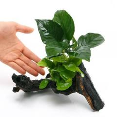 (水草)アヌビアスナナ ゴールデン&バルテリー 流木付 Mサイズ(1本)(約20cm)