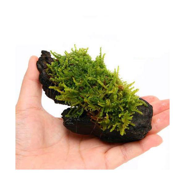 (観葉植物/苔)テラ向け ハイゴケ付流木 SSサイズ(約10cm)(1本)