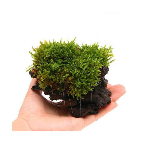 (観葉植物/苔)テラ向け ハイゴケ付流木 Sサイズ(約15cm)(1本)