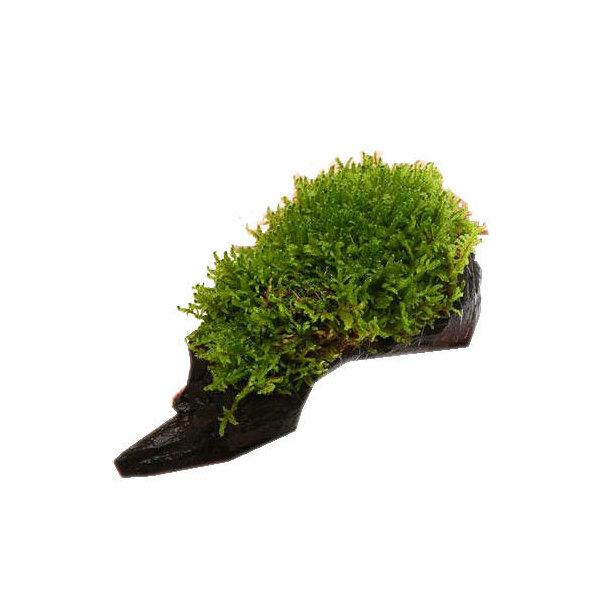 (観葉植物/苔)テラ向け ハイゴケ付流木 Mサイズ(約20cm)(1本)