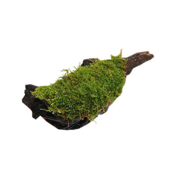 (観葉植物/苔)テラ向け ハイゴケ付流木 Lサイズ(約25cm)(1本)