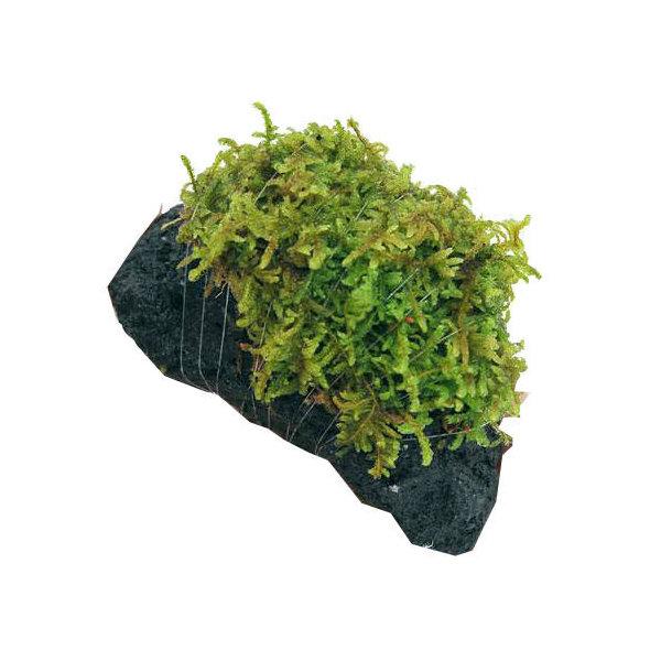 (観葉植物/苔)テラ向け ハイゴケ付溶岩石 Sサイズ(約8~10cm)(1個)