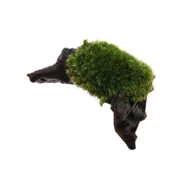 (観葉植物/苔)テラ向け ホソバオキナゴケ付流木 SSサイズ(約10cm)(1本)