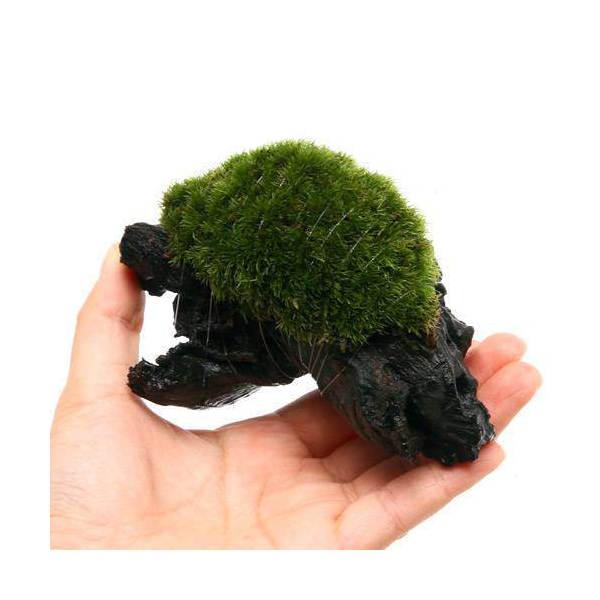 (観葉植物/苔)テラ向け ヤマゴケ付流木 Sサイズ(約15cm)(3本)