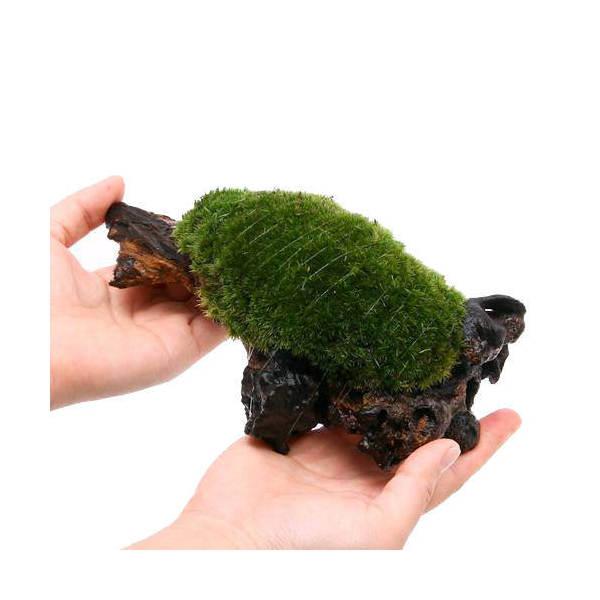 (観葉植物)苔 テラ向け ヤマゴケ付流木 Mサイズ(約20cm)(1本)
