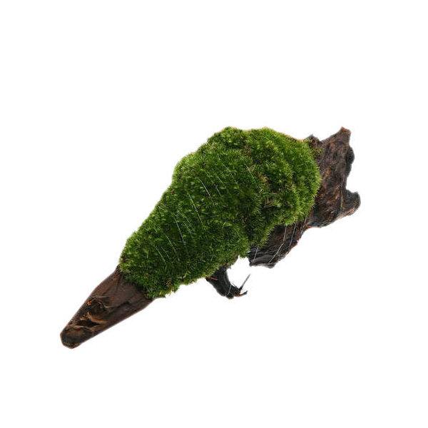 (観葉植物/苔)テラ向け ヤマゴケ付流木 Lサイズ(約25cm)(1本)