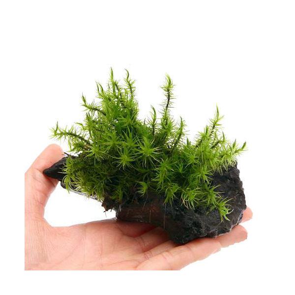 (観葉植物/苔)テラ向け シッポゴケ付流木 SSサイズ(約10cm)(1本)