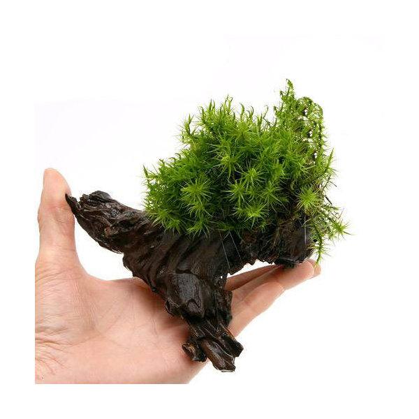 (観葉植物/苔)テラ向け シッポゴケ付流木 Sサイズ(約15cm)(1本)
