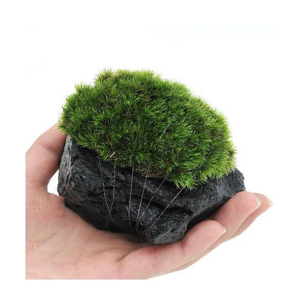 (観葉植物/苔)テラ向け ホソバオキナゴケ付溶岩石 Sサイズ(約8~10cm)(1個)