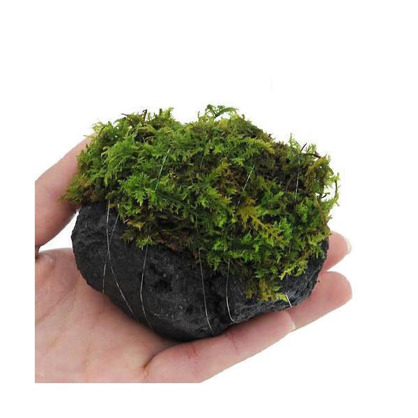 (観葉植物/苔)テラ向け シノブゴケ付溶岩石 Sサイズ(約8~10cm)(1個)