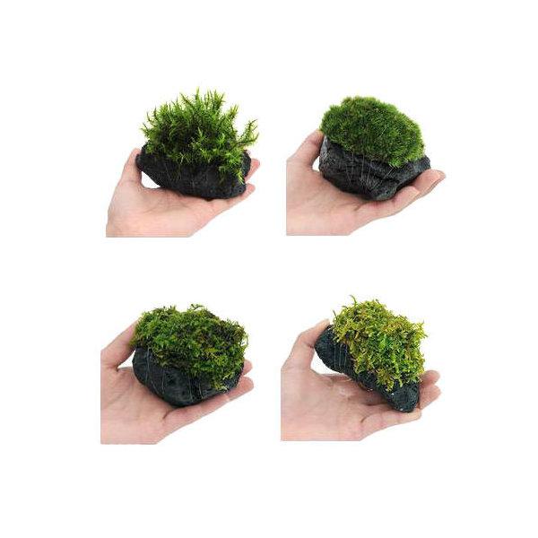 (観葉植物/苔)テラ向け おまかせ苔付溶岩石 Sサイズ(約8~10cm)(1個)