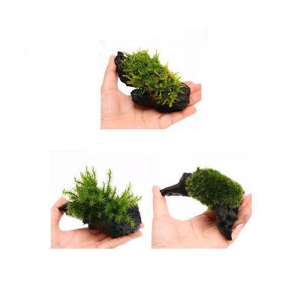 (観葉植物)苔 テラ向け おまかせ苔付流木 SSサイズ(約10cm)(1個)