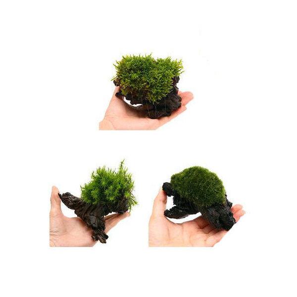 (観葉植物/苔)テラ向け おまかせ苔付流木 Sサイズ(約15cm)(3個)