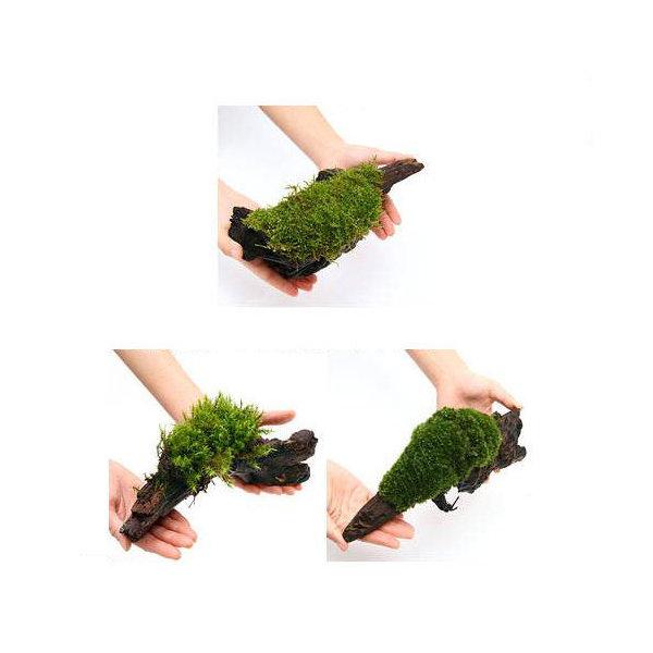 (観葉植物/苔)テラ向け おまかせ苔付流木 Lサイズ(約25cm)(1本)