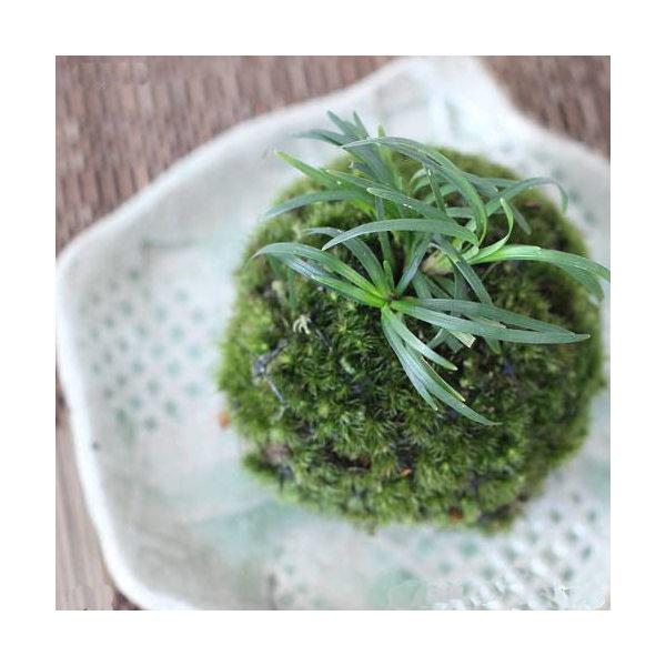 (盆栽)苔玉 リュウノヒゲ(1個) 観葉植物 コケ玉