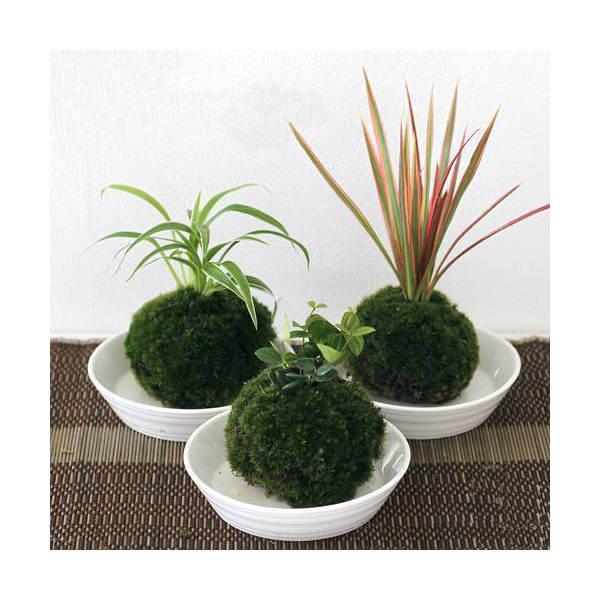 (盆栽)苔玉 おまかせ観葉(3個) 観葉植物 コケ玉