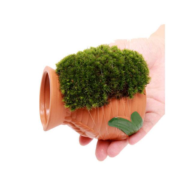 (観葉植物)苔 テラ向け タコツボ ヤマゴケ付き(1個)