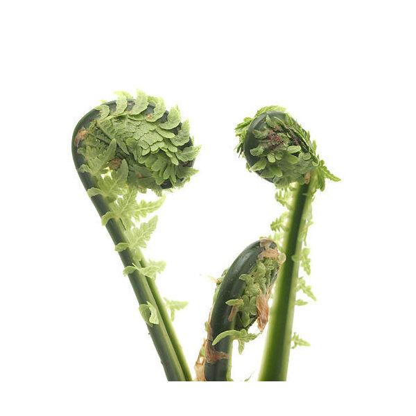 (山野草)山菜 コゴミ(クサソテツ) 3~4号( 3ポットセット) 家庭菜園
