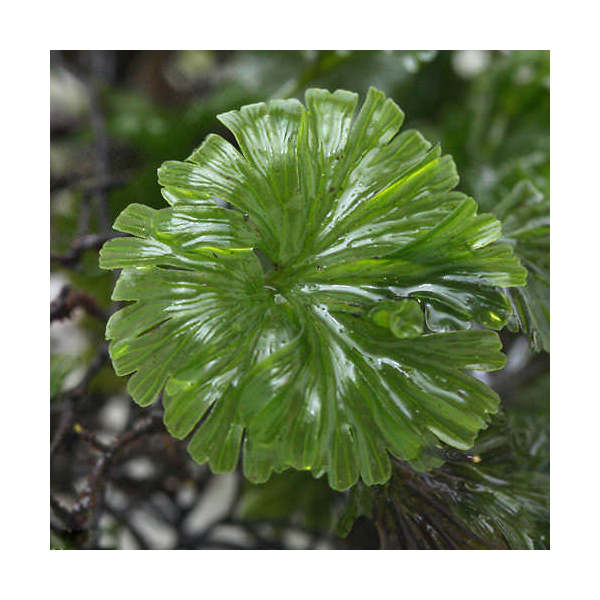 (観葉植物/苔)ウチワゴケ 半パック