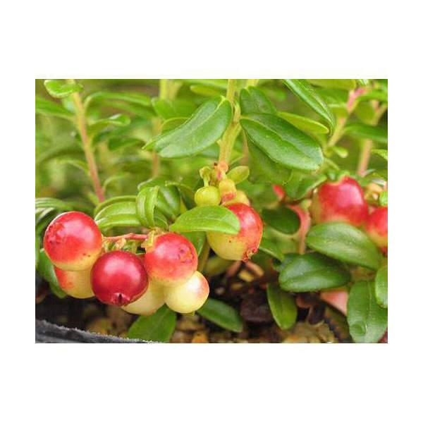 (山野草/盆栽)大実コケモモ(リンゴベリー・カウベリー)2~3.5号(1ポット) 家庭菜園