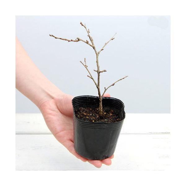 (盆栽)サクラ(桜) 富士桜 3号 樹高10~20cm前後(1ポット分)