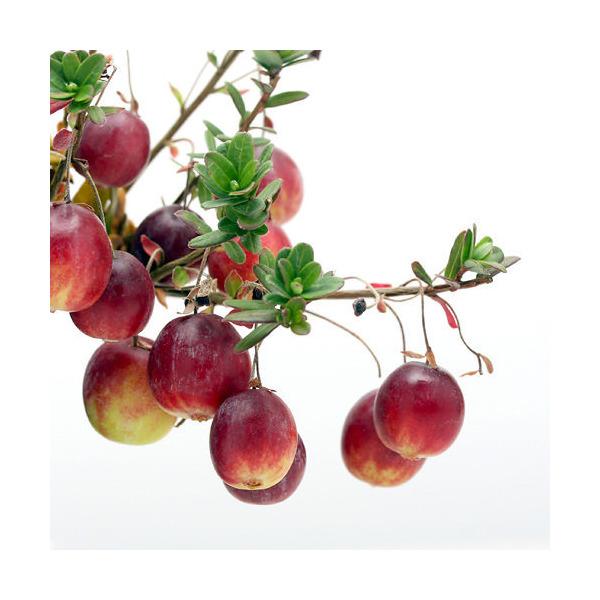 (山野草/盆栽)大実ツルコケモモ (クランベリー 蔓苔桃)3~3.5号(1ポット) 家庭菜園