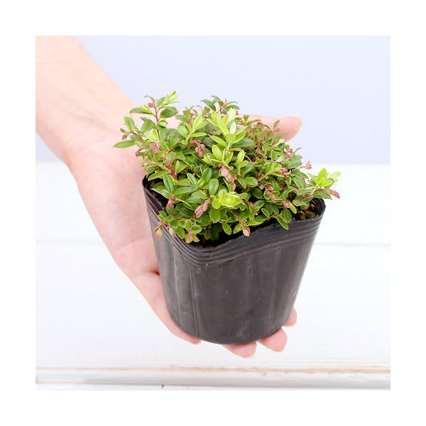 (山野草/盆栽)コケモモ(苔桃) 2.5~3号(1ポット) 家庭菜園