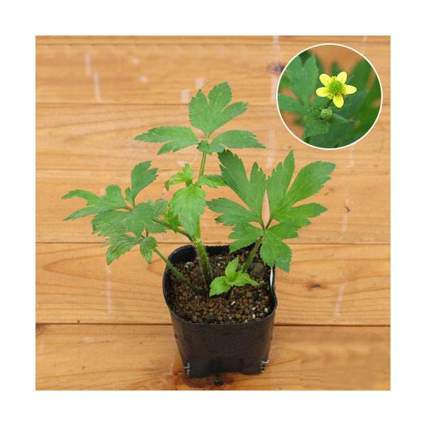 (ビオトープ)水辺植物 キツネノボタン 3号(1ポット)