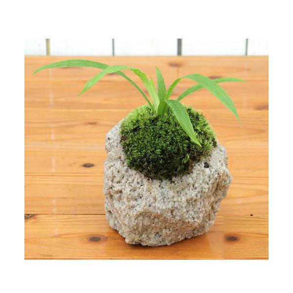 (山野草/盆栽)苔盆栽 抗火石鉢植え タガネソウ(1鉢)