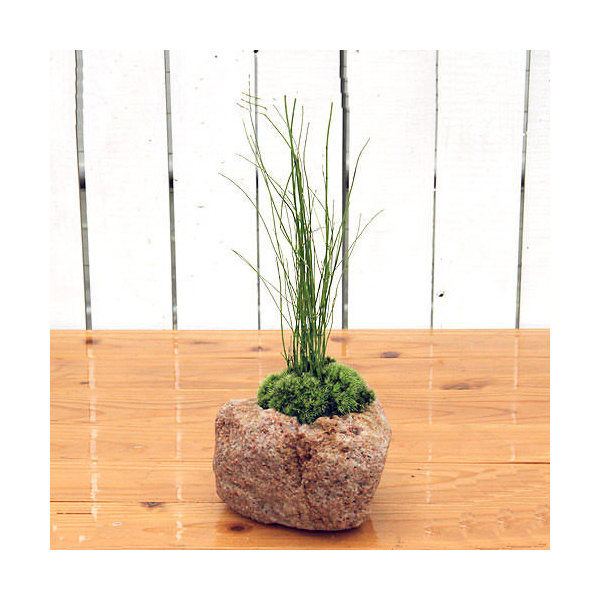 (山野草/盆栽)苔盆栽 抗火石鉢植え ミズトクサ(1鉢)