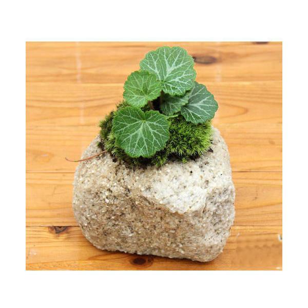 (山野草/盆栽)苔盆栽 抗火石鉢植え ユキノシタ (1鉢)