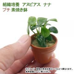 (水草)プチ素焼き鉢 組織培養 アヌビアスナナ(無農薬)(1鉢)