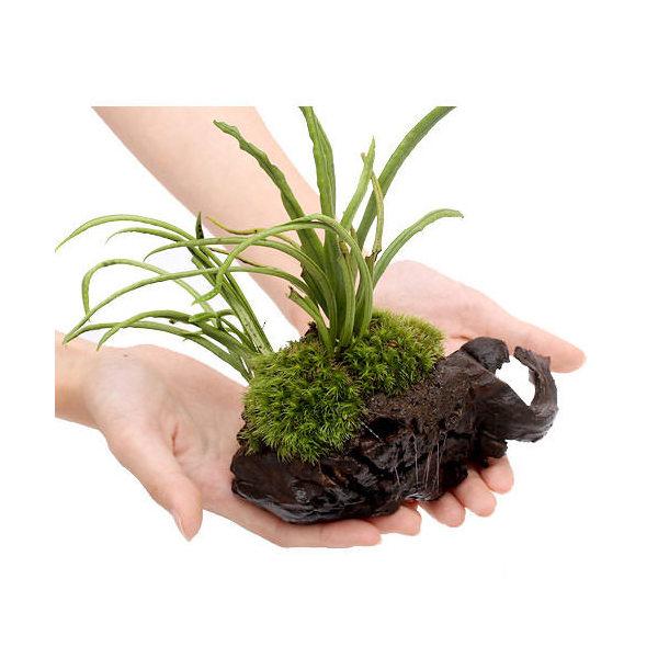 (観葉植物)テラ向け ノキシノブ付流木 おまかせ苔付き Sサイズ (約15cm)(1本)