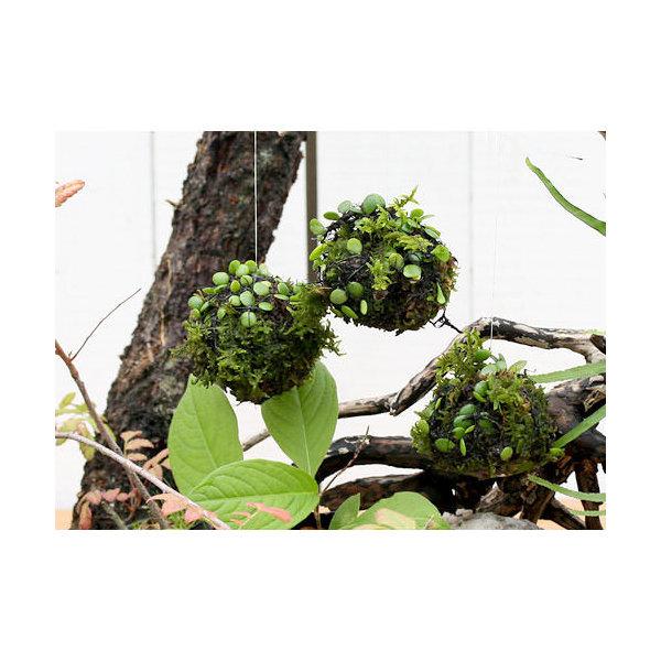 (盆栽)ミニ苔玉 吊るし玉 マメヅタ (1個)