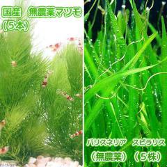 (水草)国産 無農薬マツモ(5本)+バリスネリア スピラリス(無農薬)(5株)