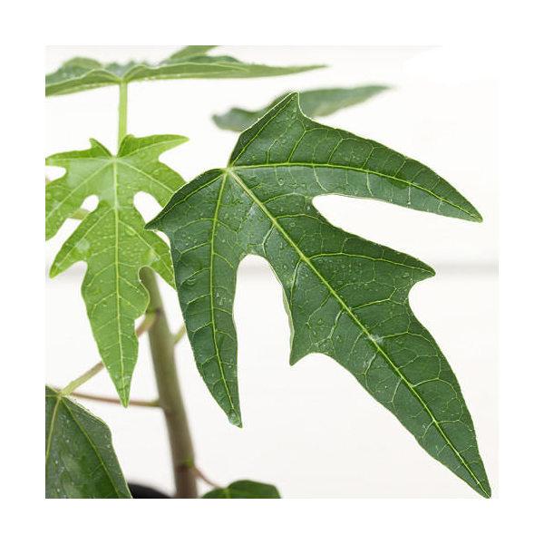 (観葉植物)果樹苗 パパイヤ 3号(約20cm)(1ポット) 家庭菜園