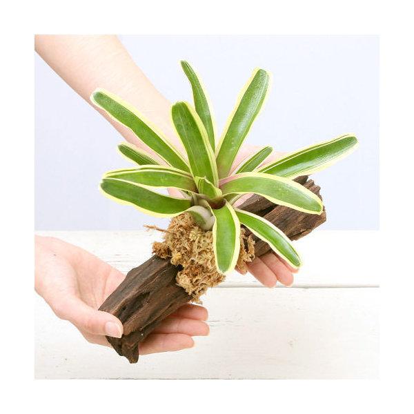 (観葉植物)テラリウム向け ネオレゲリア 流木付 大(約25cm)(1本) ブロメリア