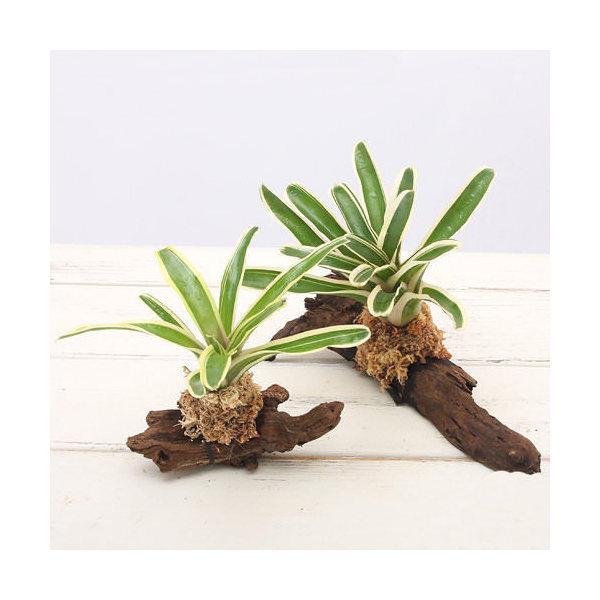 (観葉植物)テラリウム向け ネオレゲリア 流木付 大・小セット(計2本) ブロメリア