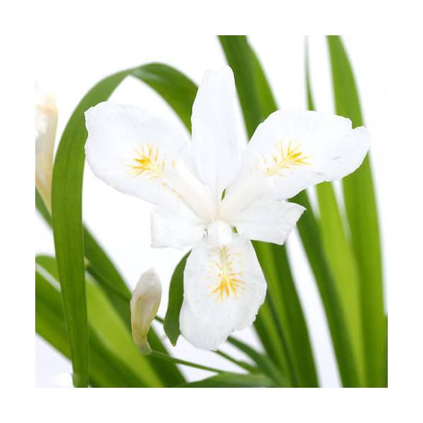 (山野草)白花ヒメシャガ(白花姫射干) 2.5号(1ポット) (休眠株)
