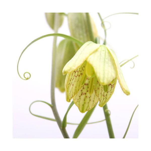 (山野草)バイモ アミガサユリ(貝母) 2.5~3号(1ポット)