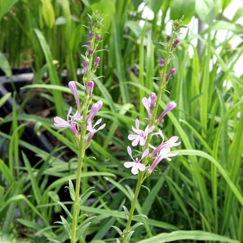 (ビオトープ/水辺植物)赤花トガクシサワギキョウ(1ポット)