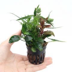(水草)おまかせ水草寄せ植えポット Ver.ナナプチ(1ポット) 熱帯魚