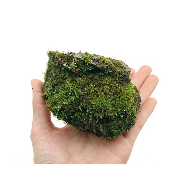 (観葉植物)和風石材 苔石 中 盆景・盆栽用 約9~12cm(1個)