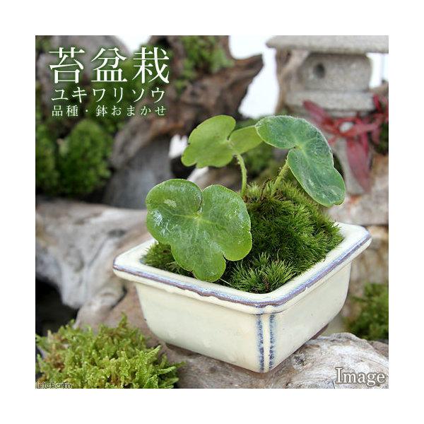 (山野草/盆栽)苔盆栽 ユキワリソウ  品種・鉢おまかせ(1鉢)