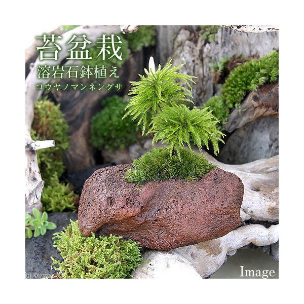 (盆栽/苔)苔盆栽 コウヤノマンネングサ 溶岩石 鉢植え(1鉢)