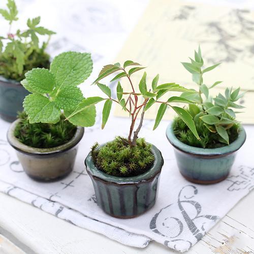 (山野草/盆栽)苔盆栽 おまかせ山野草 豆鉢植え(1鉢)