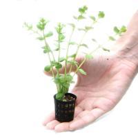 (水草)おまかせ水草ミニポット 5ポットセット(水上葉)(無農薬) 北海道航空便要保温