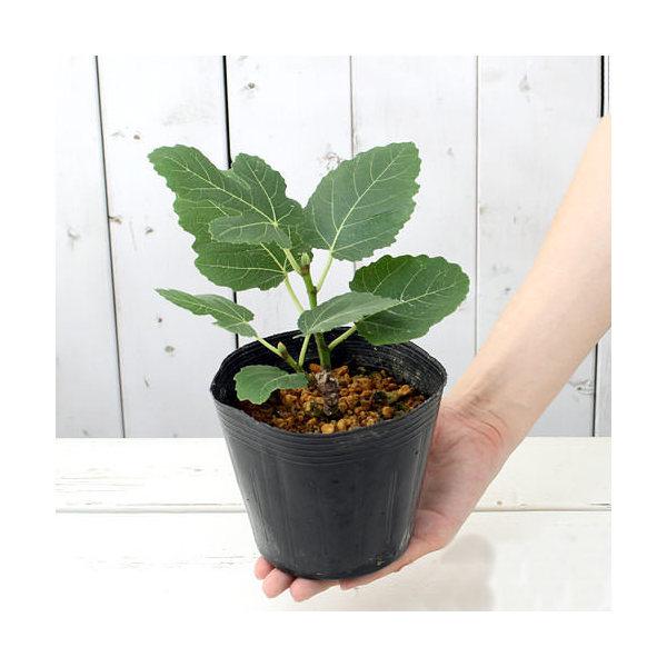 (山野草)盆栽 イチジクの苗(無花果) 品種記載なし 3~4号(1ポット)