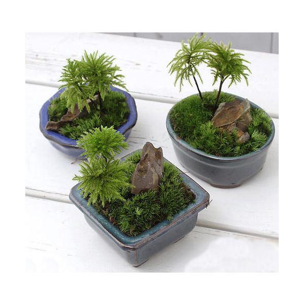 (山野草/盆栽)和盆栽 コウヤノマンネングサ 鉢おまかせ(3鉢)